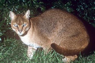 アフリカゴールデンキャット【caracal Aurata】 可愛いor怖い? 世界中の野生猫『ヤマネコ』の画像集